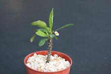Euphorbia milii tenuispina cacti rare succulent plant 4