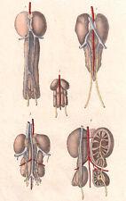 Original 1830's KIDNEYS vintage finely hand-painted engraving - Pl. 635