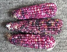 20 MINI PURPLE GLASS GEM CORN Miniature Ornamental Edible Zea Mays Veggie Seeds