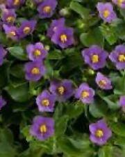 5 Exacum Royal Dane Deep Blue Live Plants Plugs Garden Planters Indoor Outdoors