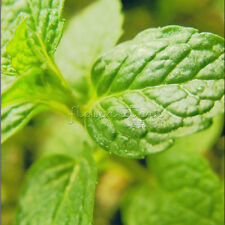 400 Top Quality Peppermint Herb Seeds  Fresh aroma Easy to Grow PerennialTT018