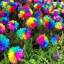 100Pcs Rainbow Chrysanthemum Flower Seeds Rare Special Color Home Garden DIY