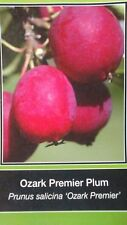 4'-5' OZARK PREMIER PLUM Fruit Tree Plants Trees Plant Sweet Juicy Plums NOW
