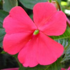 Extremely rare - Impatiens usambarensis! - Super-pink blooms!