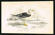 1840 Black-Backed Sea Gull, Hand-Colored Antique Ornithology Print - Lizars
