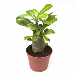 Adenium Obesum Starter Plant in a 6cm Pot Desert Rose. RHS AGM