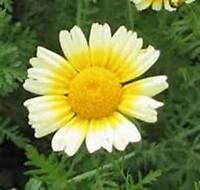 100 grams 38,000 Dimorphotheca sinuata Seeds African Daisy Flower Mixed Color
