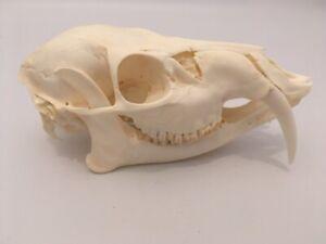 Taxidermy skeleton bones tattoo hunting voodoo SKULL CHINESE WATERDEER deer
