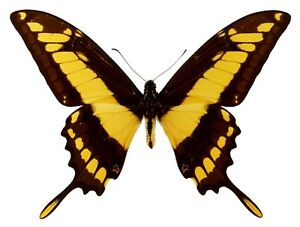 Papilio thoas Folded Butterfly Taxidermy REAL Unmounted