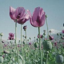 1.000 seeds  -  *Afghan Blue papaver*  -  (Papaver Somniferum)  -  Grow all year
