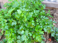 Parsley Italian Flat Leaf (500seed)-Organic Heirloom from Life-Force Seeds
