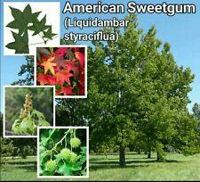 American Sweetgum Tree ~ 15 Seeds ~ Free Shipping ~ US Seller