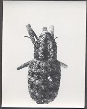 Unusual Vintage Photo Beetle Bug Scientific Specimen Entomology 258130