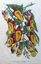 Hexacentris mysorensis, VAN HOUTTE, Antica Botanico Stampa Floreale c1850