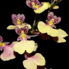 RON. Special Orchid deal-5 small growing oncidium type plants all in spike(4239)