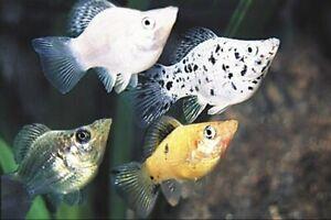 MIXED BALLOON MOLLY live freshwater aquarium fish