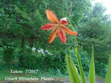 Belamcanda Chinensis Blackberry Leopard Lily Plant Iridaceae Iris Plant Bloom