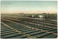 1900's Drying Prunes Farm Horse Wagon Buggy Farmers California CA Postcard