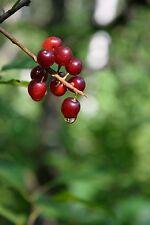 "CHOKE CHERRY TREE Prunus virginiana 6-12"" LOT OF 4"