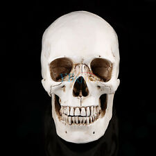 White Lifesize 1:1 Human Skull Replica Resin Model Anatomical Medical Teaching