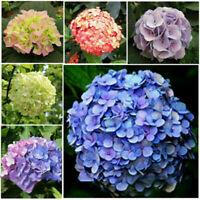 100 stücke samen / pack Mix Farbe Schöne Hortensien Dekor Blumensamen Hause Z7S9