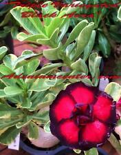 "ADENIUM OBESUM DESERT ROSE "" TRIPLE VARIEGATED BLACK AURA  "" 20 seeds NEW"