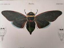 Orbigny Gravure Sur Acier XIXème Hémiptère Cigale Blanchard pinx 1849