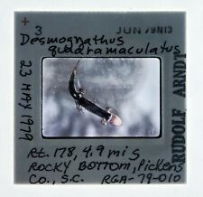 Blackbelly Salamander 35mm Slide 1979 Amphibian Herpetology Biology Sc Arndt