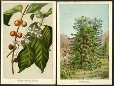 Café, kaffebaum et café fruit, 2 chromolithographien d'environ 1890