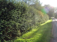 500 Hawthorn Hedging Plants, 3-4ft Hedges, Native Hawthorne,Quickthorn,Mayflower