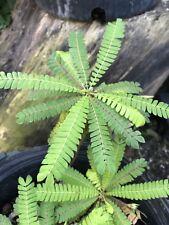 live plant- Biophytum Sensitivum . Medicinal Plant. Moves Sensitive Rare
