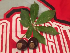 100 Buckeye Nuts Completely Dried Ready For Crafts Ohio State Buckeye Nuts