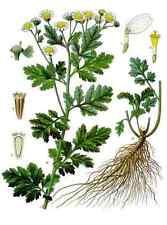300 Semillas Hierba Santa (Tanacetum parthenium, Chrysanthemum parthenium) seeds