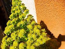 plante artichaut pot de 15cm