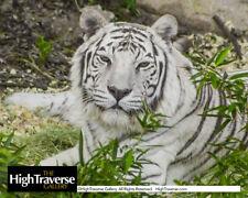 White Tiger Portrait-Big Cat-Feline-Color Fine Art Photo-8x10-COA-SIGNED