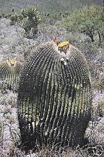 Echinocactus ingens @J@ cacti rare cactus seed 20 SEEDS