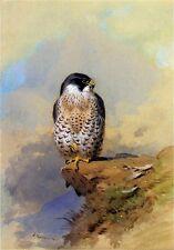 Archibald Thorburn - A Peregrine Falcon Large Canvas 24
