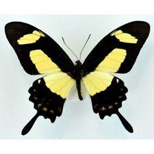 Pretty Swallowtail Butterfly Papilio torquatus torquatus Male Folded Fast Usa