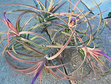 Bromeliad Tillandsia Humbug in spike Exotic Tropical Air Plant