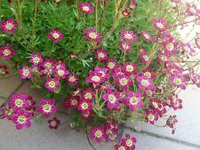 10 Lila Bata Saxifraga Arendsii Musgo Rockfoil Modelo Evergreen Semillas de Flor