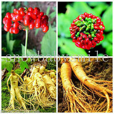 20 Chinese / Korean Panax Ginseng Seeds Hardy Rare Wild With Growing Instruction