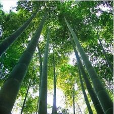 50 x Moso Bamboo Hardy & Rare Seeds -4 Giant Plants Phyllostachys Edulis Outdoor