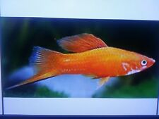 Tropical Fish Combo 8 Total Mix Sexes - 2 Molly, 2 SwordTail, 2 Guppy, 2 Platy