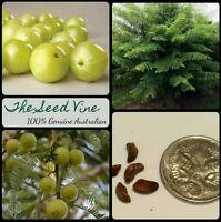 50+ ORGANIC INDIAN GOOSEBERRY SEEDS (Phyllanthus emblica) Amla Tree Medicinal