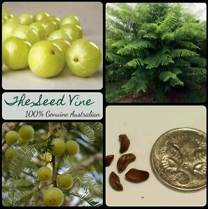 10+ INDIAN GOOSEBERRY SEEDS (Phyllanthus emblica) AMLA Tree Health Medicinal