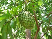 10 pcs SOURSOP Graviola Guanabana Annona muricata SEEDS From Thailand