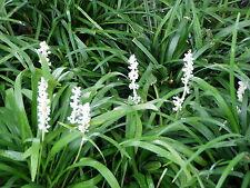 Liriope muscari 'Monroe White' 6 Plants in 3-1/2 inch Pots