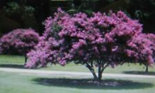 CREPE MYRTLE *  20 SEEDS * SHOWY *