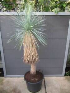 Yucca linearifolia Nr.1 - Pflanze 200cm / 110cm Stamm gewurzel -18°C Winterhart