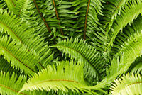 WESTERN SWARD FERN, 1020 SPORES, (SEEDS)*, LARGE 3'X3'+, VERY HARDY TO -4 F.
